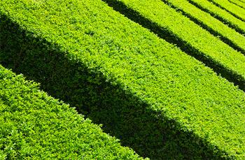 Siepi per il giardino arredamento giardini for Siepi da giardino sempreverdi